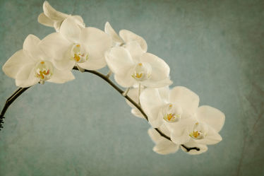 Bild mit Pflanzen, Blumen, Orchideen, Blume, Orchidee, Pflanze, Blüten, VINTAGE