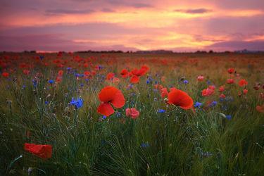 Bild mit Natur, Sonnenuntergang, Sonnenaufgang, Mohn, Mohnblume, Mohnpflanze, Klatschmohn, Mohngewächse, Mohnfeld, Wiese, Feld, Felder, Mohnblumen, Wiesen, Weide, Weiden, Mohnfelder