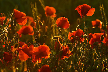 Bild mit Natur, Sonnenuntergang, Sonnenaufgang, Mohn, Mohnblume, Mohnpflanze, Klatschmohn, Mohngewächse, Mohnfeld, Wiese, Feld, Felder, Mohnblumen, Abend, Wiesen, Weide, Weiden, Abendlicht, Mohnfelder