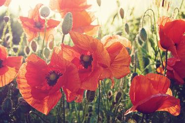Bild mit Sonnenuntergang, Sonnenaufgang, Mohn, Mohnblume, Mohnpflanze, Klatschmohn, Mohnfeld, Mohnblumen, Mohnfelder, mohnpflanzen
