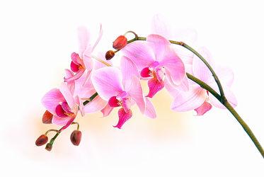 Bild mit Pflanzen, Blumen, Rosa, Orchideen, Blume, Orchidee, Pflanze, Elfen, Blüten, blüte, Feenland, Elfenland, feen