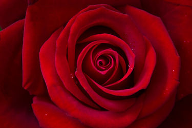 Bild mit Pflanzen, Blumen, Rot, Rosen, Blume, Pflanze, Rose, rote Rose, Elfen, Blüten, blüte, Feenland, Elfenland, feen