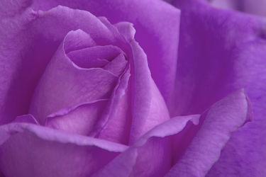 Bild mit Pflanzen, Blumen, Lila, Violett, Rosen, Blume, Pflanze, Rose, Elfen, Blüten, blüte, Feenland, Elfenland, feen
