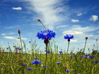 Bild mit Pflanzen, Blumen, Sommer, Blume, Pflanze, Wiese, Feld, Felder, Blüten, blüte, Wiesen, Weide, Weiden, Kornblume, Kornblumen, Kornblumenfeld