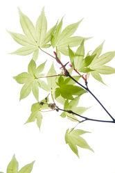 Bild mit Pflanzen, Blumen, Blätter, Blume, Pflanze, Blatt, asien, Ahorn, ASIATISCH, ahornblatt, Ahornblätter