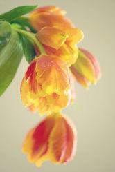 Bild mit Pflanzen, Blumen, Blume, Pflanze, Tulpe, Tulpen, Tulpenstrauß, Blüten, blüte