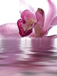 Bild mit Pflanzen, Blumen, Orchideen, Blume, Orchidee, Orchideengewächse, Pflanze, Blüten, blüte