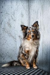 Bild mit Tiere, Hunde, Tier, Hund, Hundebild, aussie, Miniature American Shepherd