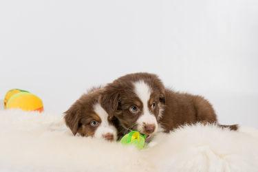 Bild mit Tiere, Haustiere, Hunde, Tier, Hund, Hundebild, Welpe, Hundebabys, Haustier, Welpen, Hundebilder