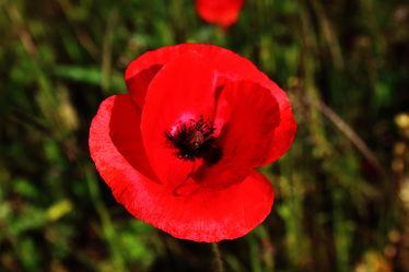 Bild mit Blumen, Mohn, Blume, Mohnblume, Mohnfeld, Mohnblüte, Felder, Blüten, Mohnblumen, blüte, Wiesen, Weiden, Mohnblumenfeld