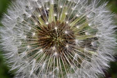 Bild mit Löwenzahn - Pusteblumen