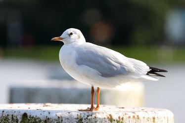 Bild mit Tiere, Vögel, Möwen, Ostsee, Meer, Tier, Möwe, Möve, Möven