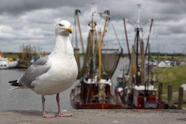 Bild mit Vögel, Häfen, Möwen, Möwe, Nordseeküste, Küstenvogel, Fischerhafen, Seevogel