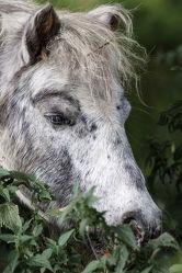 Pony Porträt