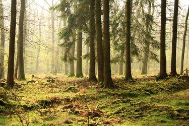 Bild mit Natur, Bäume, Wälder, Tanne, Nebel, Wald, Baum, Baumstamm, Sonnenschein, Licht, Fotografien Landschaften/Wälder, Sonnenlicht, Moos, Tannenbaum