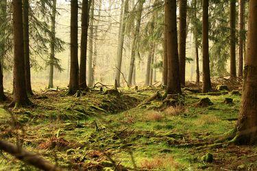Bild mit Natur, Bäume, Wälder, Tanne, Nebel, Wald, Baum, Baumstamm, Sonnenschein, Licht, Sonnenlicht, Moos, Tannenbaum
