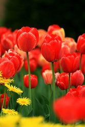 Bild mit Pflanzen, Blumen, Blume, Pflanze, Tulpe, Tulpen, Wiese, Fotografien, garten, Wiesen, gämswurz, gämswurzen