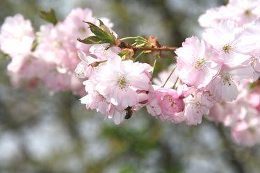 Japanische Blütenkirsche