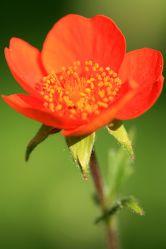 Bild mit Pflanzen, Blumen, Mohn, Blume, Pflanze, Mohnblume, Mohnpflanze, Blüten, Mohnblumen, Fotografien, blüte, Zierpflanze