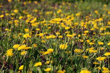Bild mit Pflanzen, Blumen, Blume, Wiese, Löwenzahn, Feld, Felder, Blüten, Wiesen, Weide, Weiden, blumenwiese, Löwenzahnwiese, kuhblume
