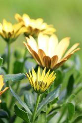 Gelbe Blüte des Kapkörbcehen