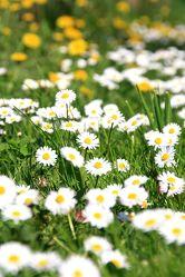 Bild mit Blumen, Sommer, Blume, Wiese, Feld, Felder, gänseblümchen, Wildblumen, garten, Wiesen, Weide, Weiden, Blümchen