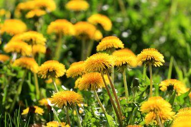 Bild mit Pflanzen, Blumen, Blume, Pflanze, Wiese, Löwenzahn, Pusteblume, Feld, Felder, Pusteblumen, Wiesen, Weide, Weiden