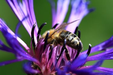 Biene auf Berg-Flockenblume