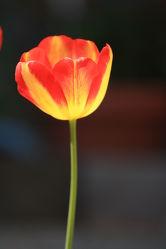 Bild mit Pflanzen, Blumen, Blume, Pflanze, Tulpe, Tulpen, Fotografien Blumen und Pflanzen