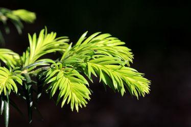 Bild mit Pflanzen, Nadelbäume, Blumen, Nadelbaum, Pflanze