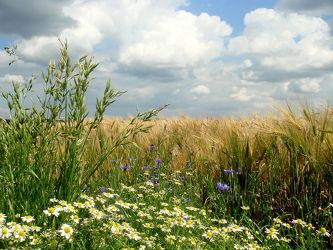 Gräser am Feld II