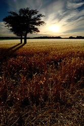 Trees in the cornfield