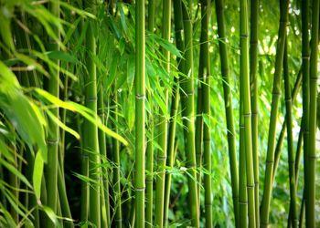 Bild mit Natur, Bambus, Wald, Tapeten, Tapete, bambuswald, bambusstangen, bambusrohr, bambuspflanze, Bambusblatt, Bambusblätter, fototapeten