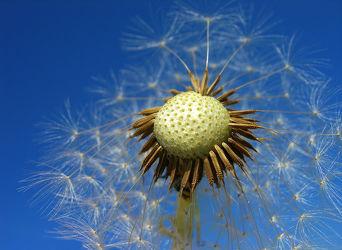 Bild mit Pflanzen, Blumen, Blume, Pflanze, Makro, Löwenzahn, Pusteblume, Pusteblumen