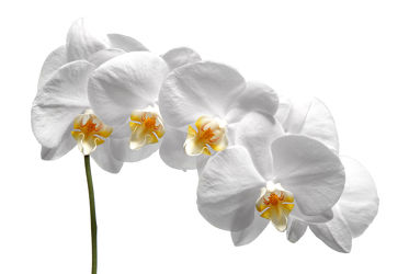Bild mit Pflanzen, Blumen, Weiß, Orchideen, Blume, Orchidee, Pflanze, Makro, Blüten, blüte, weißer Hintergrund