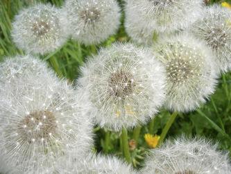Bild mit Blumen, Blume, Makro, Wiese, Pusteblume, wiesenblumen, Pusteblumen, Wiesen