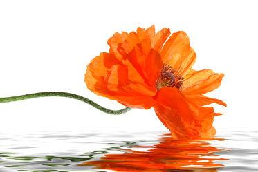 Bild mit Blumen, Frühling, Rot, Mohn, Blume, Mohnblume, Poppy, Poppies, Klatschmohn, Makro, Blüten, Mohnblumen, blüte