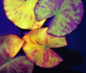 Seerosenblätter - Abstrakt
