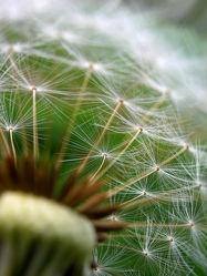Bild mit Pflanzen, Blumen, Blume, Makro, Pusteblume, Pusteblume, Blüten, Samen
