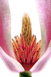 Magnolienblüte - Makro