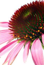 Bild mit Pflanzen, Blumen, Sonnenhüte, Blume, Pflanze, Makro, Blüten, blüte, Sonnenhut, nahaufnahme
