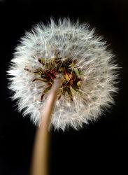 Bild mit Blumen, Blume, Makro, Wiese, Löwenzahn, Pusteblume, Blüten, Pusteblumen, blüte, Wiesen