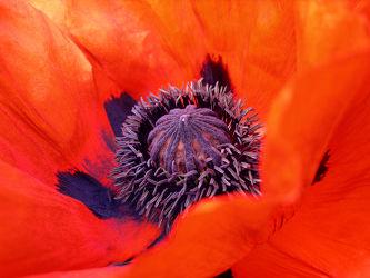 Bild mit Blumen, Mohn, Blume, Mohnblume, Poppy, Klatschmohn, Makro, Mohnblüte, Blüten, Mohnblumen, garten, blüte