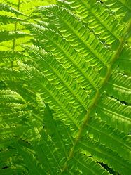 grüner Waldfarn