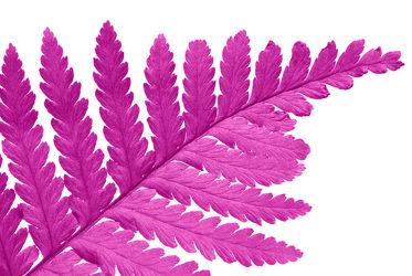 Pinkes Farnblatt