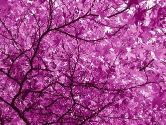 Bild mit Bäume, Wälder, Lila, Wald, Baum, Blätter, Blatt, Abstrakt, pink, Ast, Äste