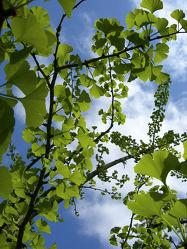 Bild mit Bäume, Baum, Blätter, Tree, Wiese, Blatt, Wiesen, ginkgo, Botanik