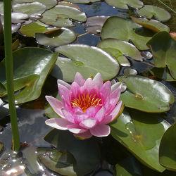 Bild mit Natur, Wasser, Pflanzen, Seen, Blumen, Rosen, Blume, Rose, See, Teich, Seerosen, Blüten, blüte, Seerose, Wasserpflanzen