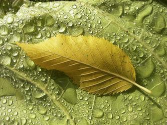 Bild mit Blätter, Hintergrund, Blatt, Wassertropfen, Regentropfen, Wasserperlen, Tropfen, Hintergründe, background, herbstblatt