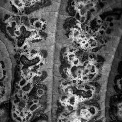 Bild mit Natur, Blätter, Blatt, Blattstruktur, schwarz weiß, SW, Baumblatt, Blattstrukturen